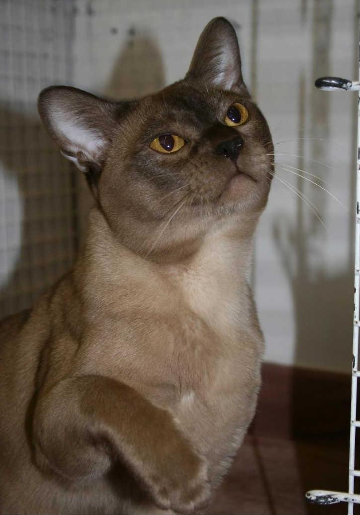 Burmese cat club perth